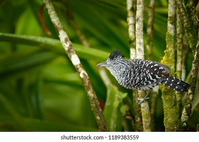 Barred antshrike, Thamnophilus doliatus, passerine bird in the antbird family, Trinidad and Tobago. Wild motley bird in the nature forest habitat. Birdwatching in the Caribbean. Animal in green.
