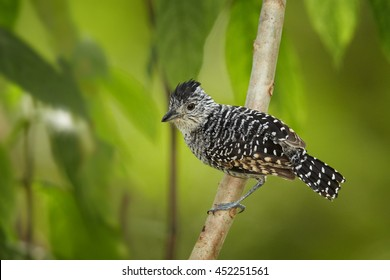 Barred Antshrike,Thamnophilus doliatus, close-up, black and white patterned male, perched on branch among blurred leaves in tropical forest. Tobago island, Trinidad and Tobago, Caribbean.