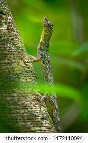Barred gliding lizard - Draco taeniopterus - Draco is a genus of agamid lizards that are also known as flying lizards, flying dragons or gliding lizards. These lizards are capable of gliding flight.