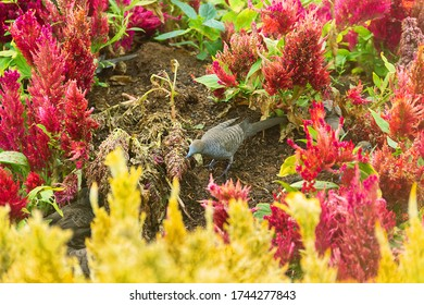 Barred ground dove (zebra-dove, Geopelia striata) flock feeds on seeds among the thickets of Amaranth. Birds of Thailand