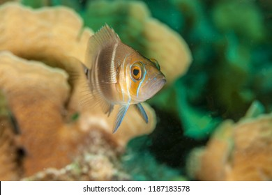 Barred Hamlet,Hypoplectrus puella is a hamlet from the Western Central Atlantic