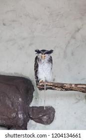 Barred Malay Eagle Owl