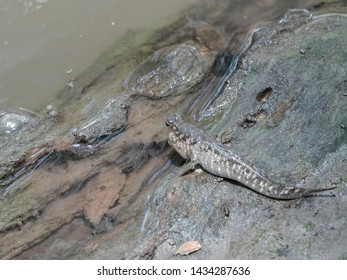 Barred mudskipper (Periophthalmus argentilineatus) or Silverlined mudskipper on the fallen tree trunk in the water. Life in the mangrove forest in Ranong province,  Southern Thailand.