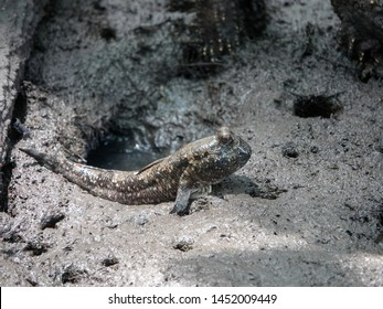 Barred mudskipper (Periophthalmus argentilineatus) or Silverlined mudskipper on mudflat during period of low tide in the mangrove forest in Ranong province, Southern Thailand.