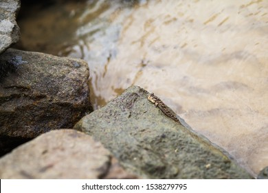 Barred mudskipper or silverlined mudskipper is on a wet coastal stone. Periophthalmus argentilineatus. Despite the amphibian way of life, this animal is fish