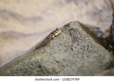 Barred mudskipper or silverlined mudskipper sitting on a wet coastal stone. Periophthalmus argentilineatus. Despite the amphibian way of life, this animal is fish