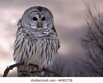 A barred owl against the winter sky
