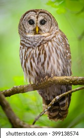 Barred Owl - Up Close Isolated in the Swamp - Green Background