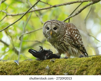 A barred owl feeds on a crow which it had just captured.