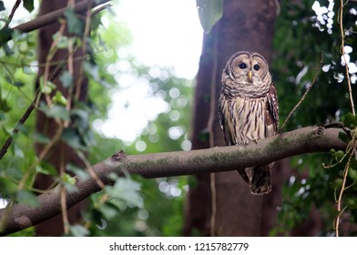 A barred owl or hoot owl is perched in a tree in the wild.