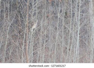 barred owl, also known as northern barred owl or hoot owl in winter storm