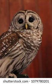 Barred Owl.  A medium gray owl with white and brown horizontal barring that covers most of its body. They are round headed with a whitish brown facial disk.