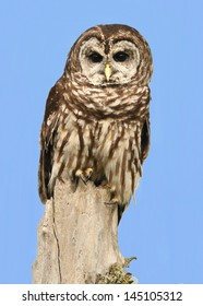 Barred Owl on A Tree Stump