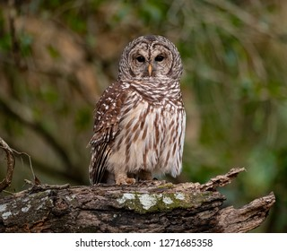 Barred Owl in a Palm Tree in Florida