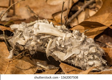 Barred Owl Pellet