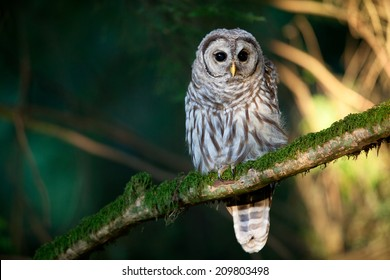 Barred Owl perched in the forest