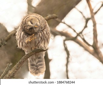 A barred owl perched on a branch with head turned to one side and a foot close to its head