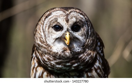A Barred Owl portrait on a spring day. Carolina Raptor Center, North Carolina