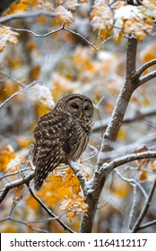 Barred Owl resting in snow covered autumn foliage