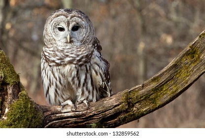 Barred owl sits on a mossy branch in the northern Michigan woods