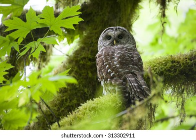 A Barred Owl sitting on a branch in Olympic National Park