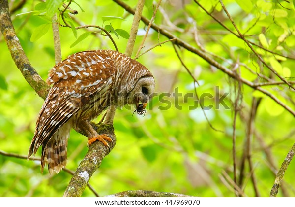 Barred owl (Strix varia) holding crayfish in tis beak. Barred owl is best known as the hoot owl for its distinctive call