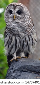 The barred owl (Strix varia), also known as northern barred owl or hoot owl, is a true owl native to eastern North America. Adults are large, and are brown to grey with barring on the chest