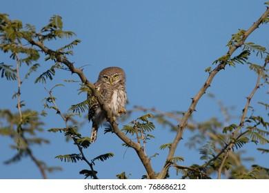 Barred owlet bird sitting in thorn acacia tree with clear sky in background, Okavango Delta, Botswana, Africa
