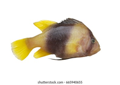 Barred soapfish isolated on white, Diploprion bifasciatum