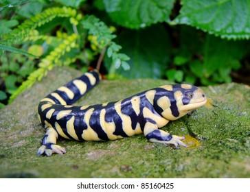 Barred Tiger Salamander, Ambystoma mavortium, very large bright yellow and black salamander of North America