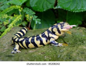 Barred Tiger Salamander, Ambystoma mavortium, very large bright yellow and black salamander of North America, eating a mouse