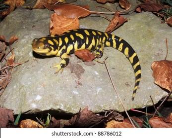 Barred Tiger Salamander, Ambystoma mavortium, giant bright yellow and black salamander of North America
