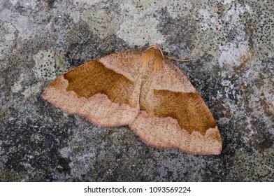Barred Umber (Plagodis pulveraria) moth sitting on a rock.