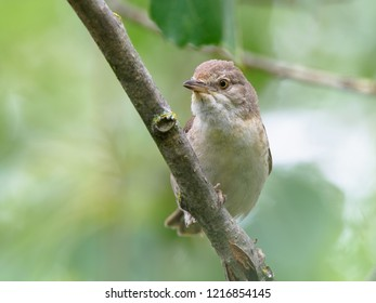 The barred warbler (Sylvia nisoria). The female sits on a tree branch.