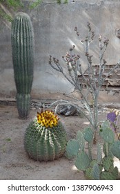 Barrel cactus in bloom and saguaro in front of wall