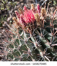Barrel cactus with blooming red flower and fishhook spines