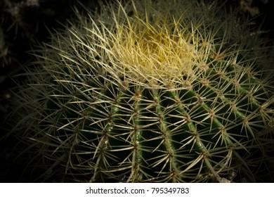 Barrel cactus in California sun.