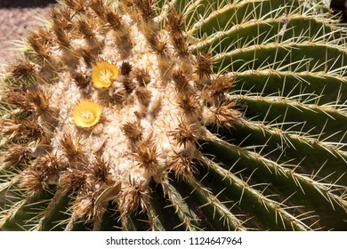 Barrel cactus close up in Arizona
