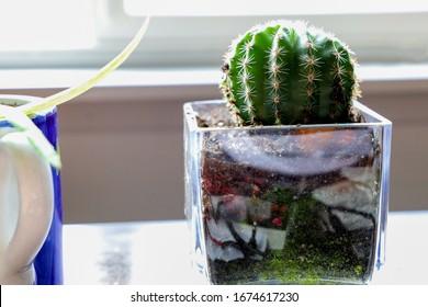 Barrel Cactus houseplant in glass pot.