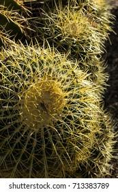 Barrel Cactus Plant with Yellow Buds in Arizona Desert