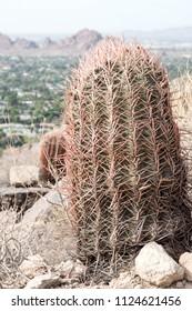 Barrel cactus in Scottsdale, Arizona