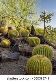 Barrel Cactus under a sunny Phoenix AZ afternoon