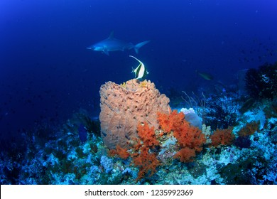 Barrel sponge with Scalopped Hammerhead Shark in the Background, Banda Sea, Indonesia