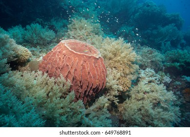A barrel sponge surrounded by soft corals provides shelter to tiny fish.