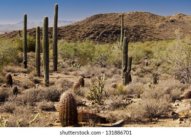 Barrels, Saguaros and Chollas in the Desert