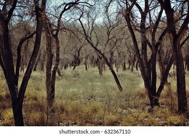 Barren cottonwood glen. Rio Grande bosque, Albuquerque, New Mexico.