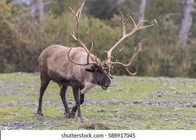 Barren Ground Caribou Bull