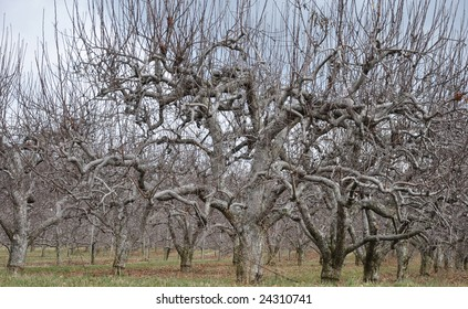 A barren orchard in the winter.