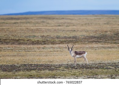 Barrenground Caribou on Baffin Island, Nunavut, Canada