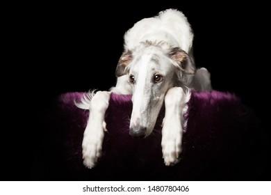 Barsoi Dog lying down at Studio